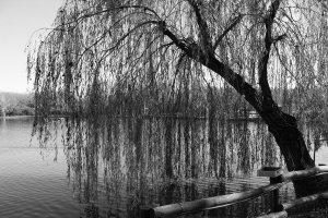 salice-piangente-sul-lago